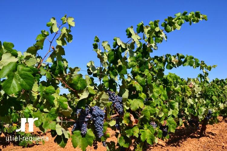 La variedad Bobal, una uva única que podrá descubrir el mercado americano FUENTE: utielrequena.org