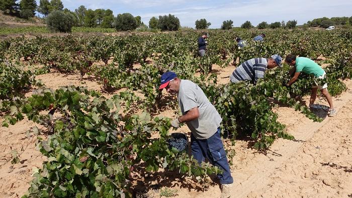 Un grupo de cosechadores durante la vendimia