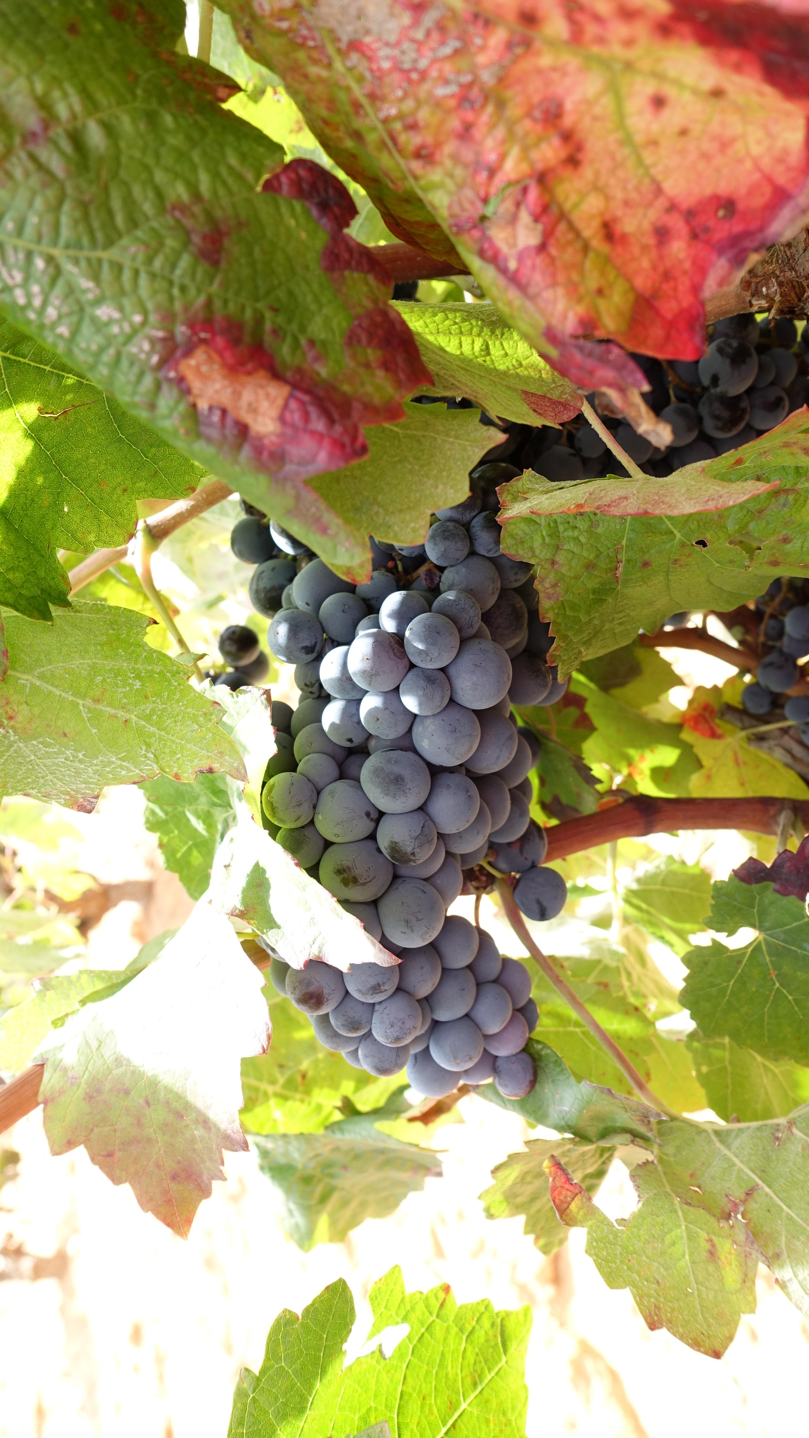Un racimo de uvas maduras listo para la vendimia