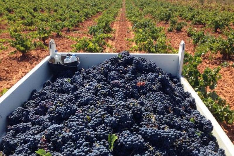 Vendimia-para-la-elaboración-de-los-mejores-vinos