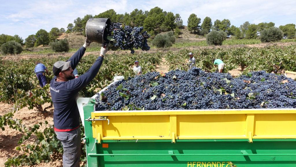 Utiel-Requena recolecta 189 millones de kg de uva