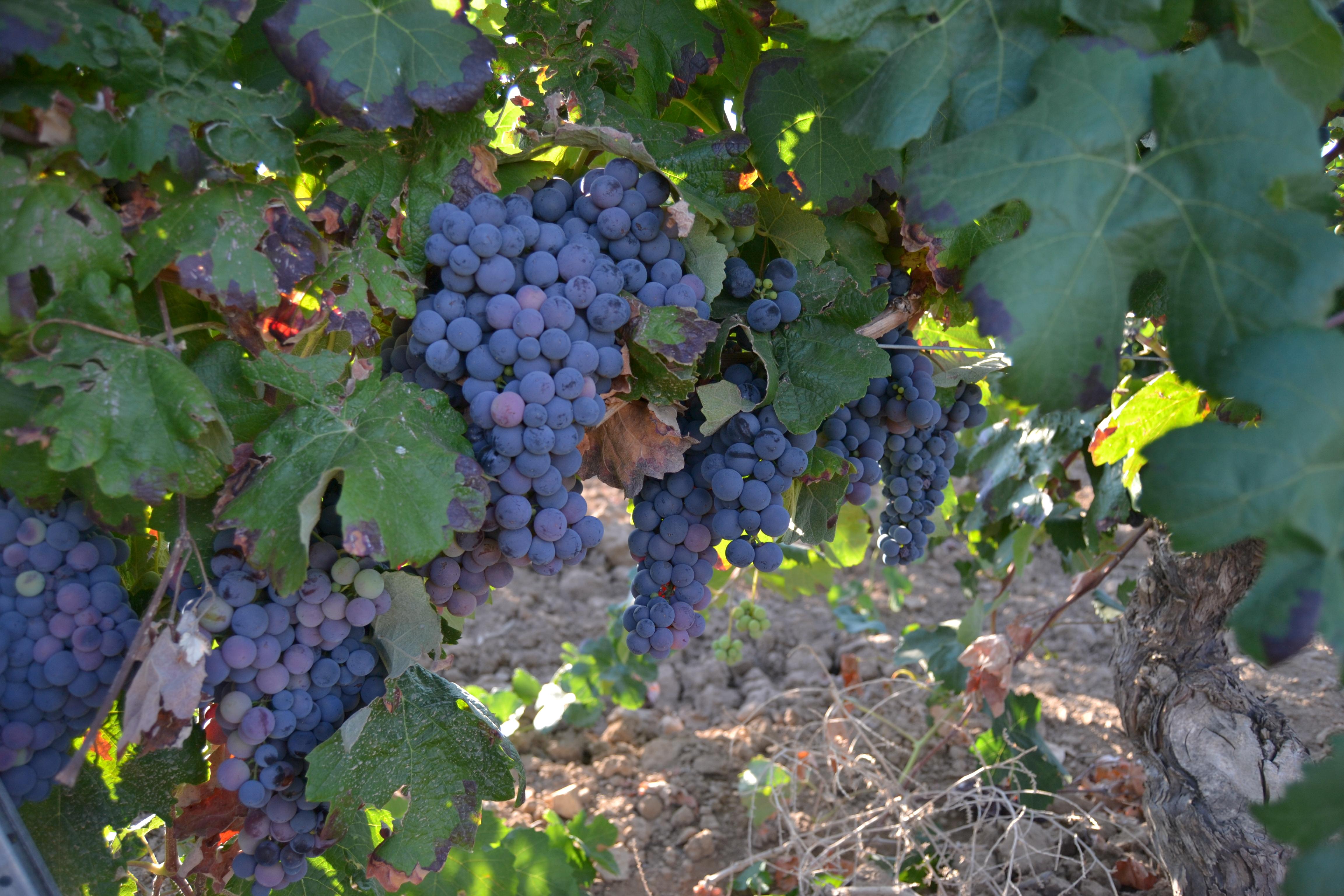uva Bobal grape