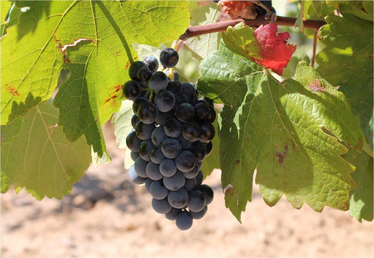 Vinos y Sabores Ecológicos celebra una cata de uvas y vinos