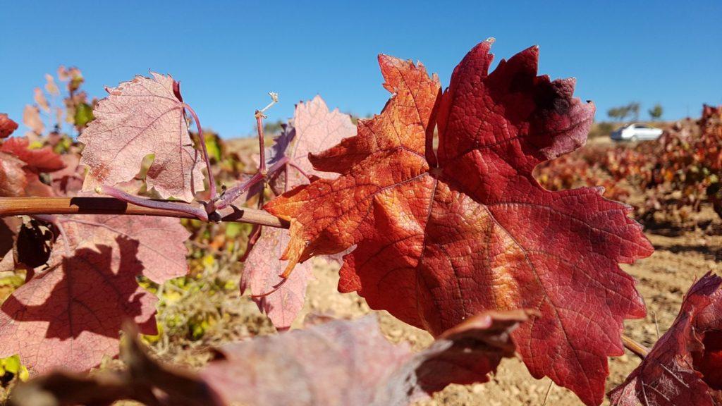 El otoño tiñe de rojo Utiel- Requena 1