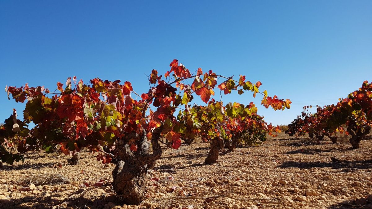 El otoño tiñe de rojo Utiel- Requena
