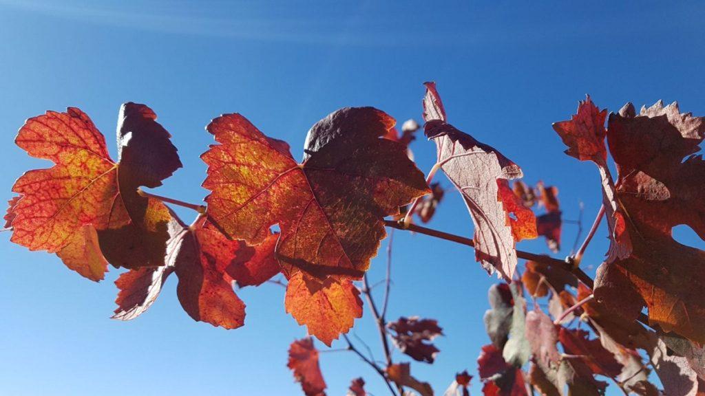 El otoño tiñe de rojo Utiel- Requena 0