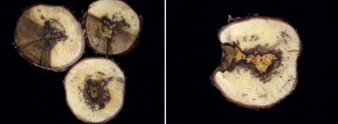 La prevención, clave para evitar la proliferación de yesca en la madera de la vid 0