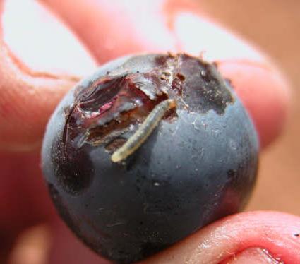 La confusión sexual, un método ecológico y efectivo para luchar contra la polilla en los viñedos 0