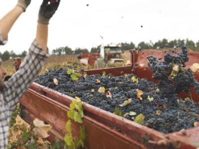 La DO Utiel-Requena recolecta 196 millones de kg de uva