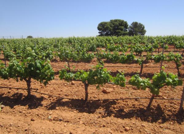 El cambio climático, un desafío de primera magnitud para el sector vitivinícola 0