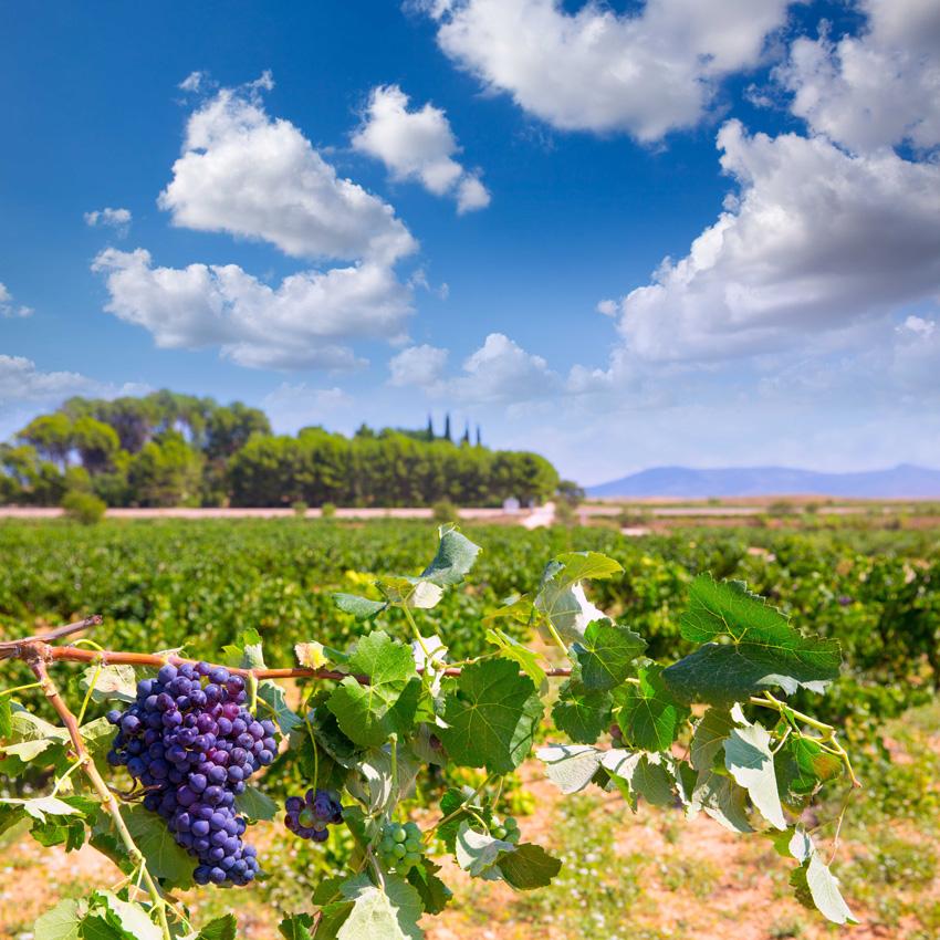 Las partes de la planta de la uva, la vid 1