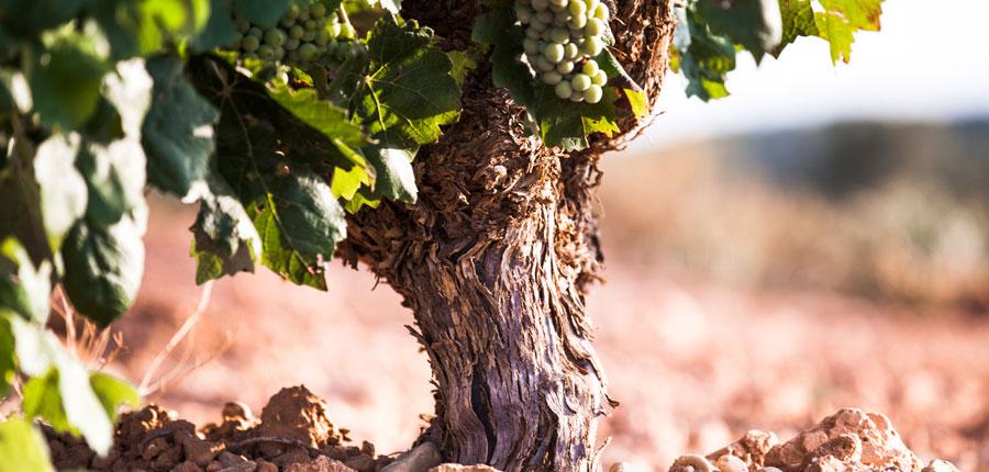 Los viñedos de Utiel-Requena con la llegada del verano 1
