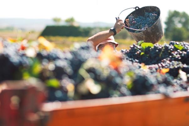 La fiesta del vino en rama se consolida en Utiel-Requena 0