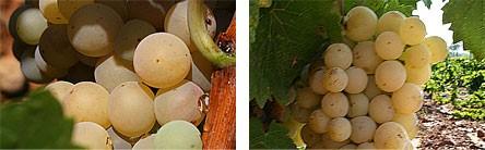 La Tardana, variedad autóctona de la DO Utiel-Requena 0