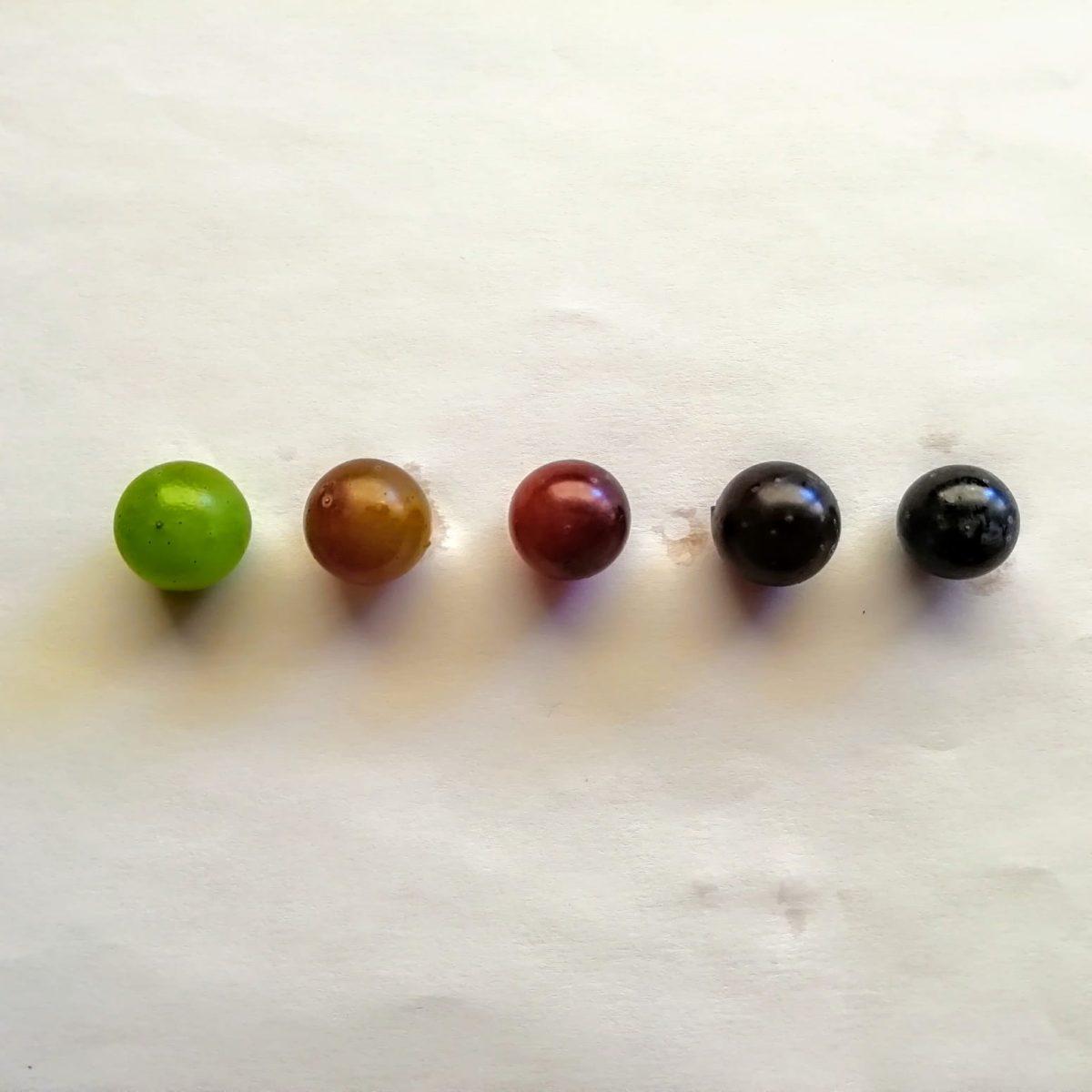 ¿Qué procesos sufren los granos de uva durante el envero?