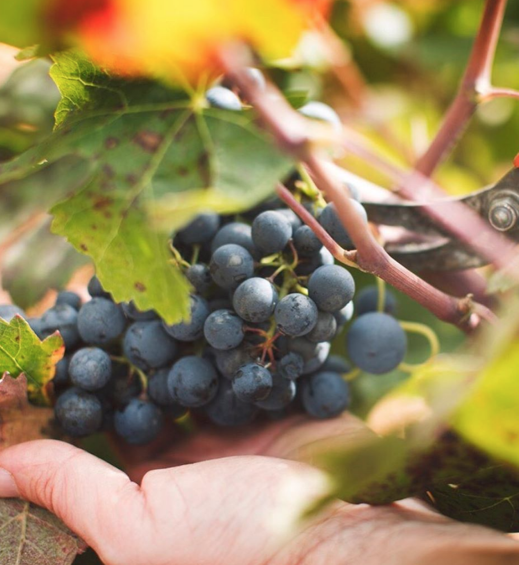 La importancia de la calidad de la uva