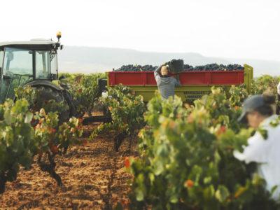 La DO Utiel-Requena recolecta  212 millones de kg de uva