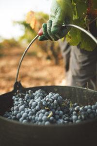 La DO Utiel-Requena recolecta  212 millones de kg de uva 0