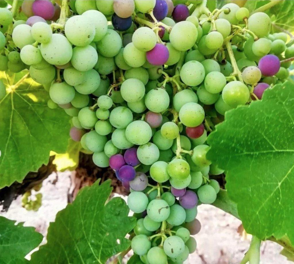 Las variedades de uva de Utiel-Requena 0