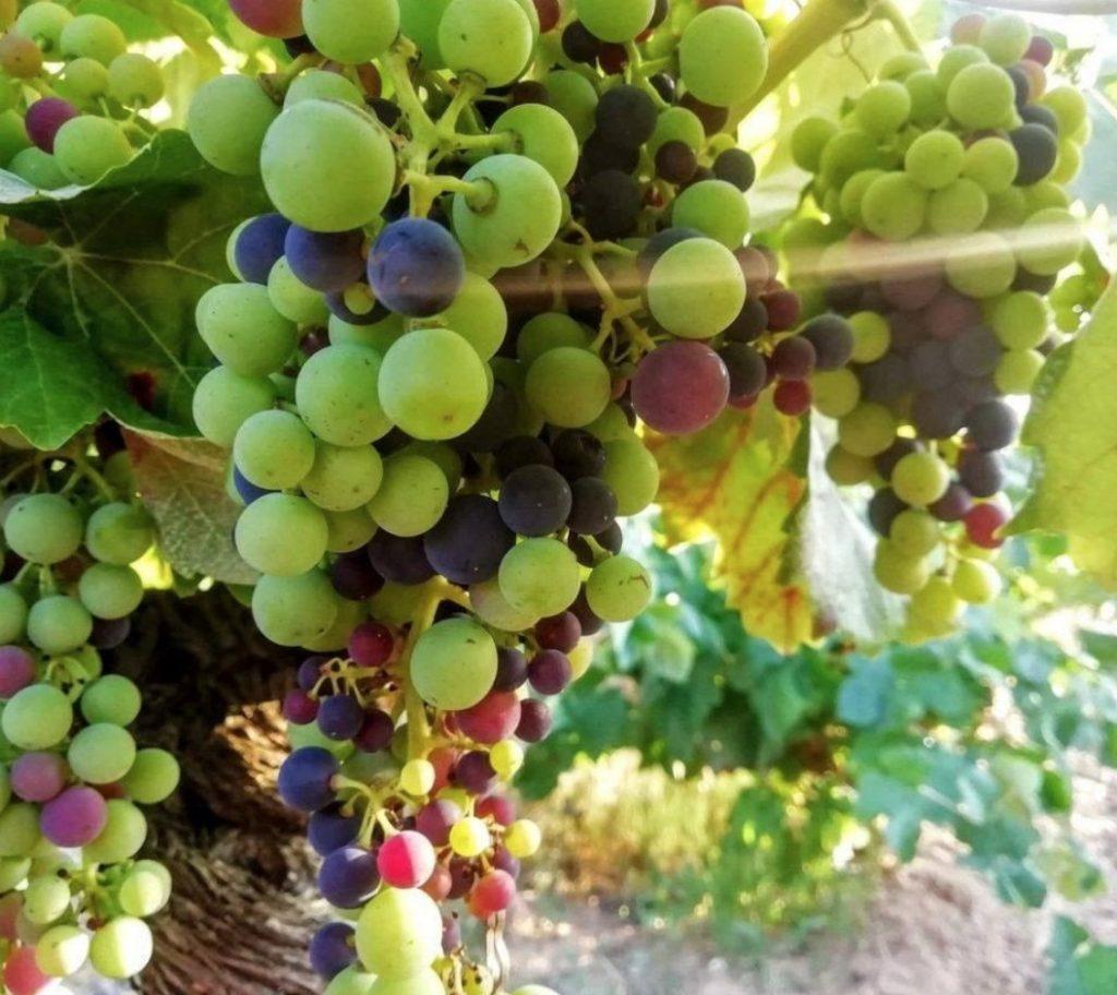 ¿Qué es la viticultura? 0
