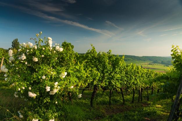 Conoce el verdadero motivo por el que se plantan rosales cerca del viñedo 0