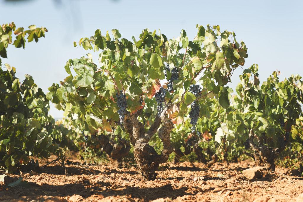 Descubre los 4 factores que te permiten identificar que una uva es de calidad 0