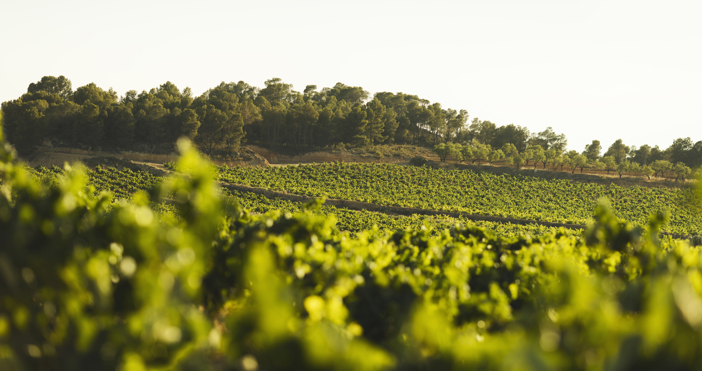 La viticultura ecológica en Utiel-Requena crece un 47% en cuatro años