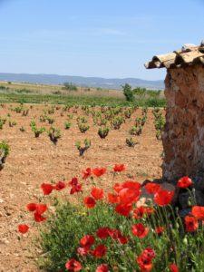 La viticultura ecológica en Utiel-Requena crece un 47% en cuatro años 0
