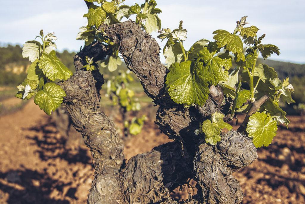 La apuesta por la vitivinicultura ecológica, gran oportunidad para la DO Utiel-Requena 1